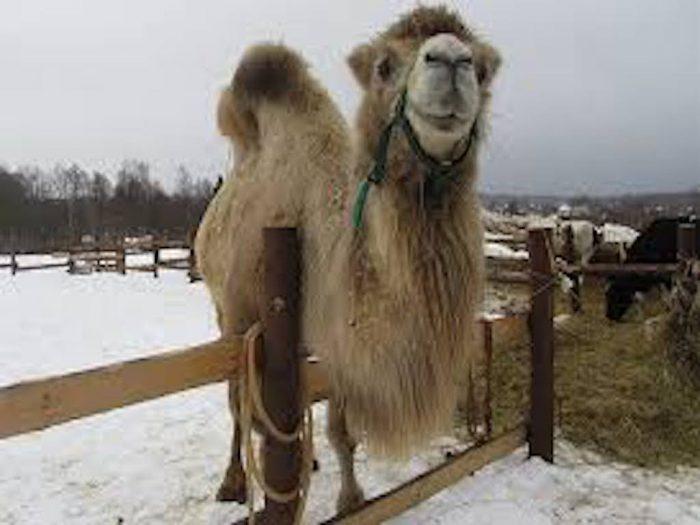 Верблюдица Соня