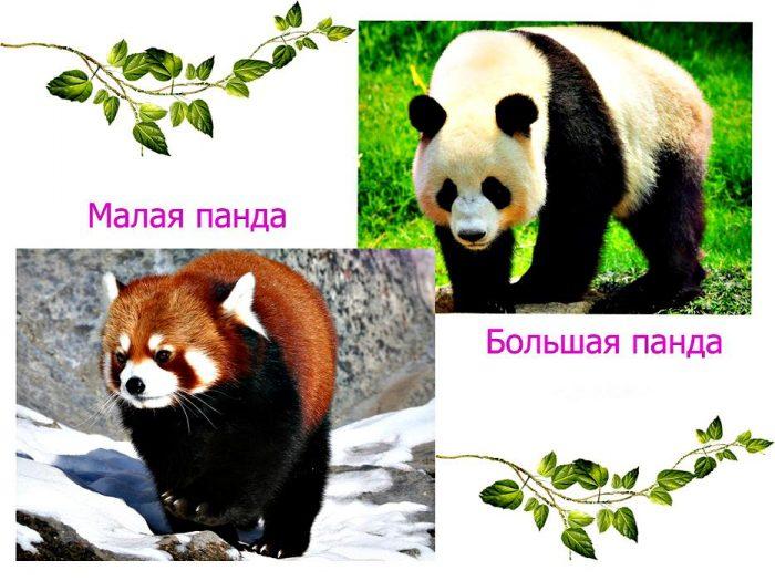 Панда большая и малая