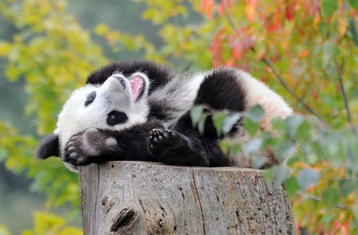 Большая панда на пне