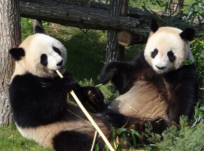 Две больших панды