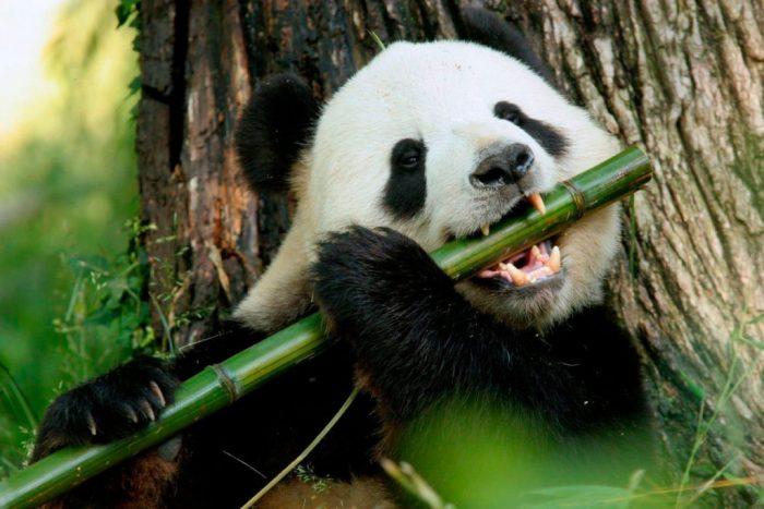 Большая панда ест бамбук