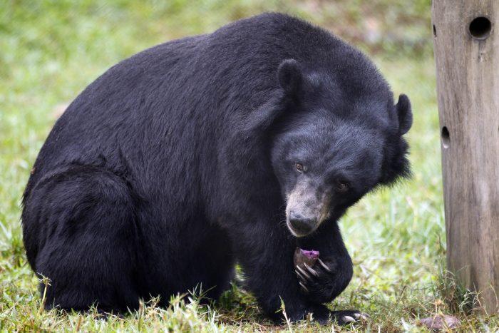 Чёрный азиатский медведь
