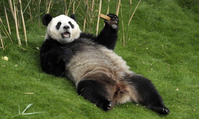 Панда лежит на спине