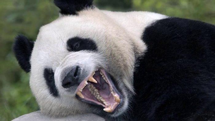 Панда с открытой пастью