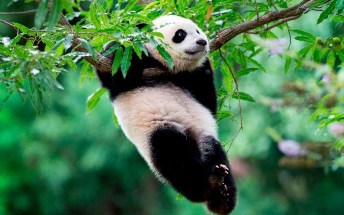 Панда висит на ветке