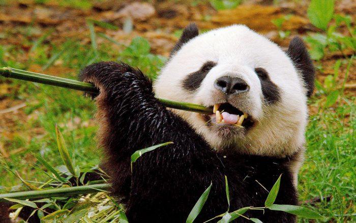 Панда грызёт бамбук