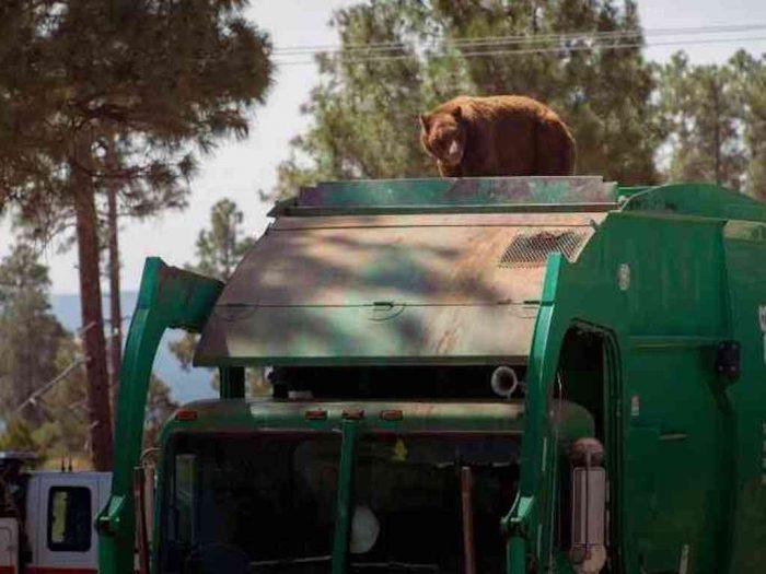 Медведь едет на мусоровозе