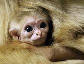 В зоопарке Канады долгожданное пополнение: родился редкий вид гиббона