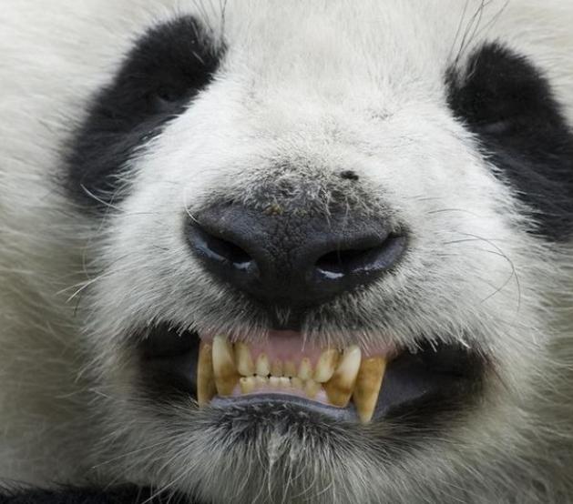 Зубы панды