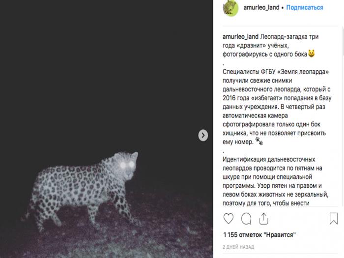 «Однобокий» леопард