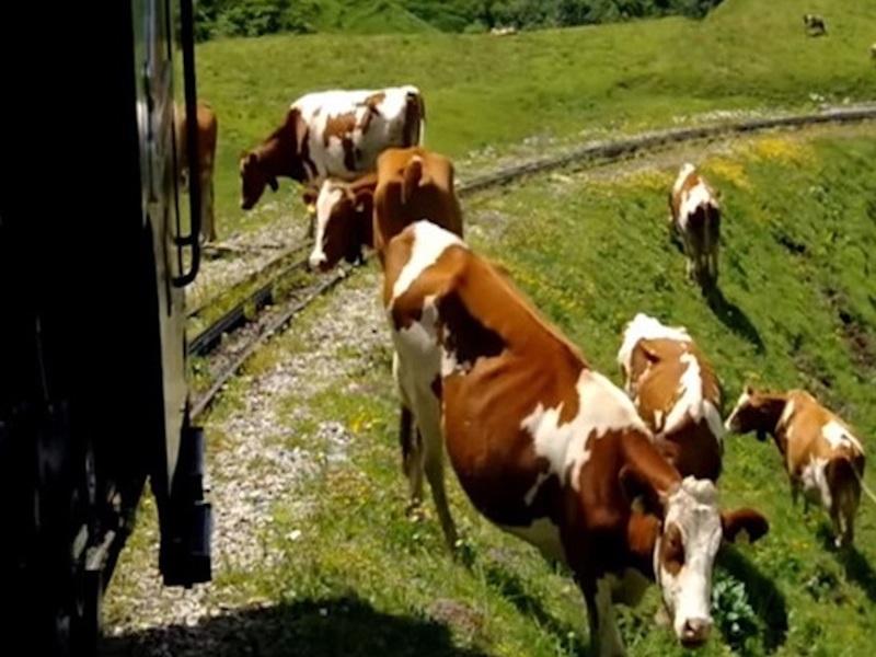 Индийские коровы разгромили новый поезд сразу после его презентации мэру города