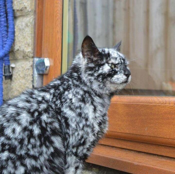 Кошка с витилиго