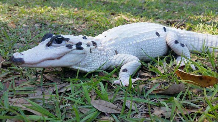 Крокодил с витилиго