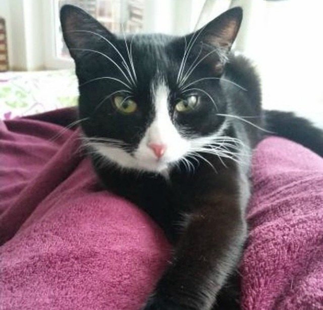 Элли — кошка с витилиго