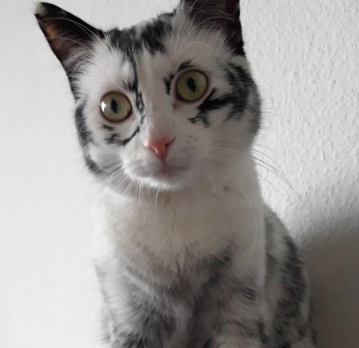 Элли — кошка с необычным окрасом из-за витилиго