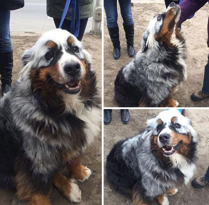 Собака с витилиго