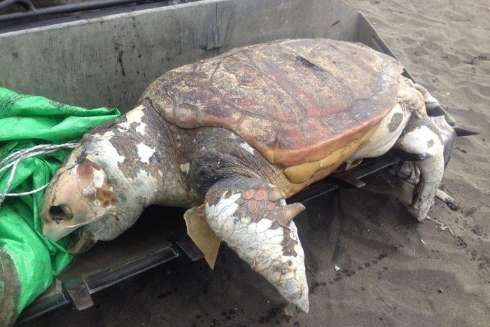 Морская черепаха с витилиго
