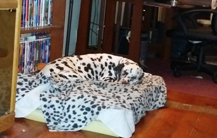 Далматин на одеяле