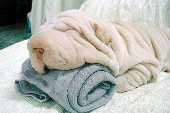 Шарпей и полотенце