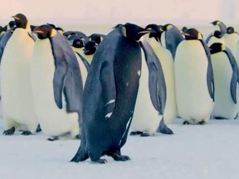 Учёные засняли единственного в своём роде чёрного императорского пингвина