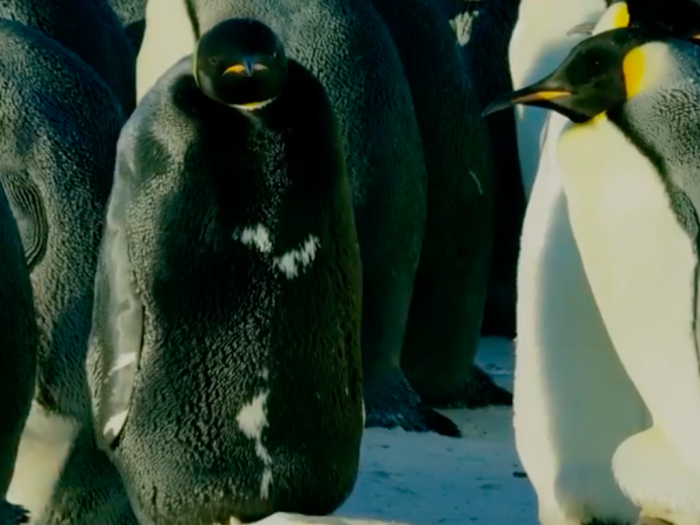 Чёрный пингвин