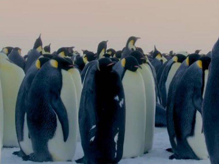 Чёрный пингвин и сородичи