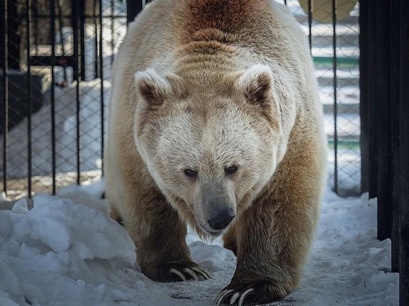Зиме конец: косолапый из Красноярского зоопарка пробудился ото сна