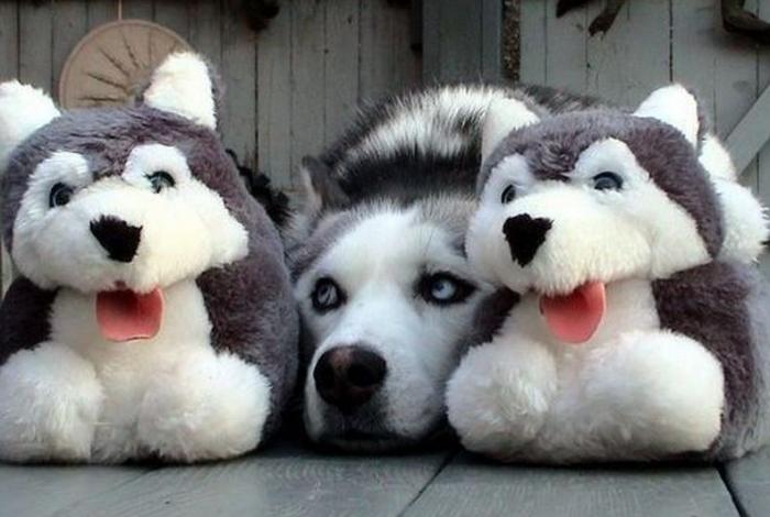 Собака и плюшевые игрушки