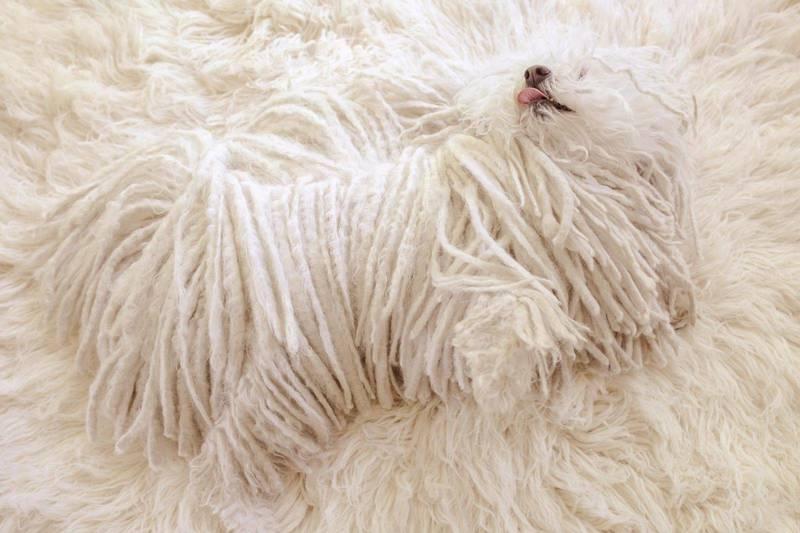 Собака маскируется на ковре
