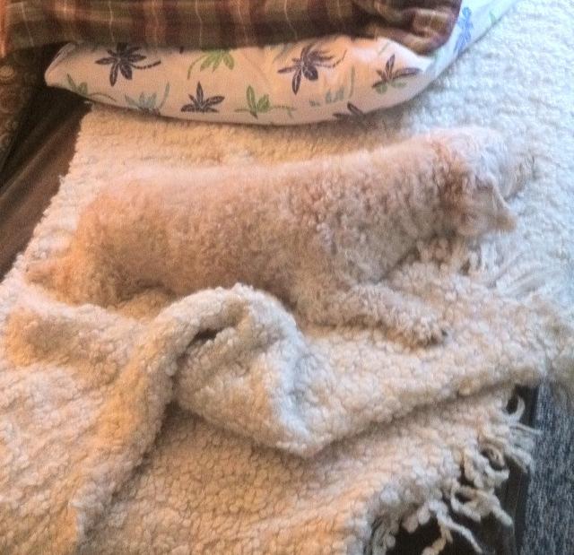 Собака спит на одеяле