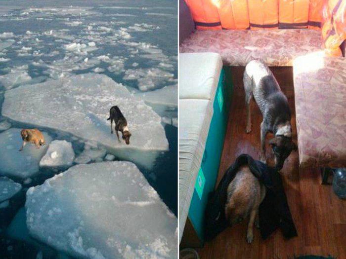Псы на льдине и спасённые на борту