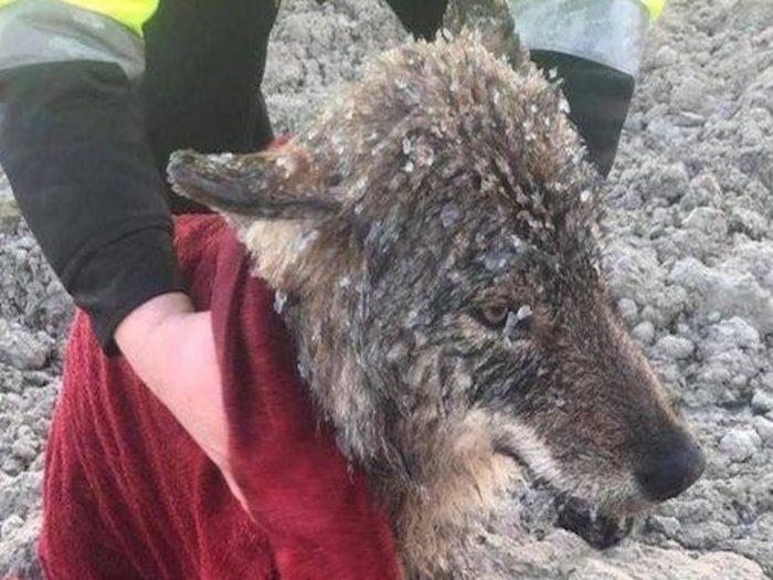 Замёрзший волк