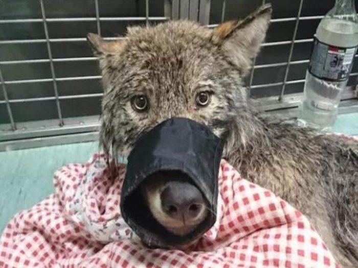 Волк в ветклинике