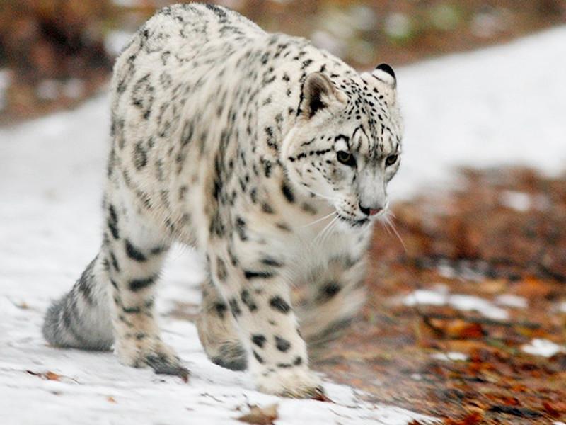 На юге Алтайской Республики автоматические камеры сняли редких снежных леопардов