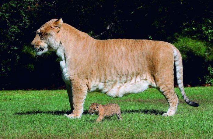 Лигр рядом с детёнышем