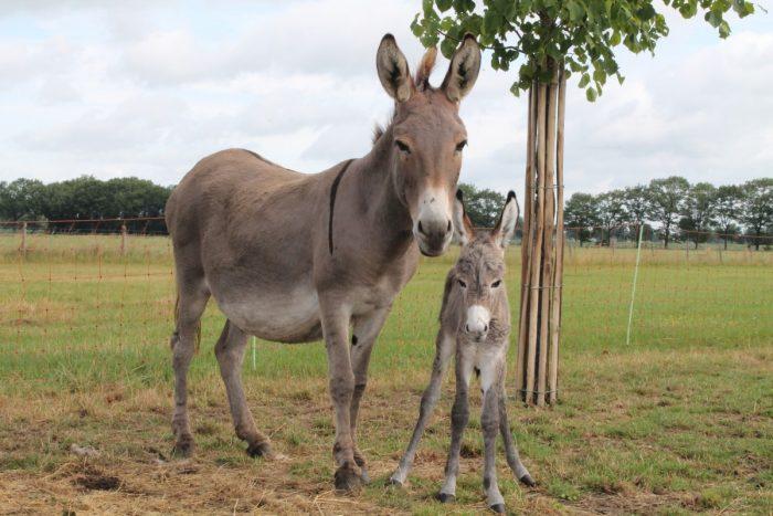 Мул с детёнышем