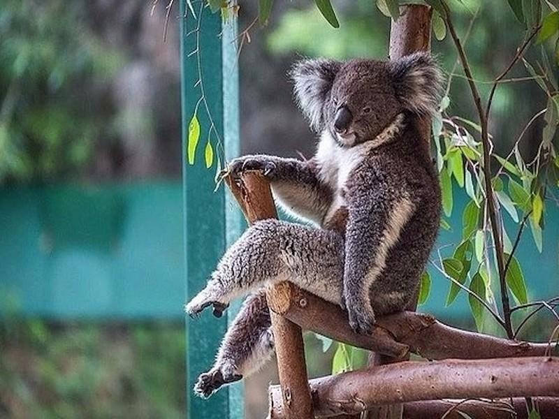 «Сексуальный» самец коалы позировал для фотографа как профессиональная модель