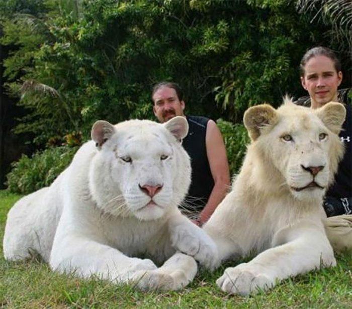 Белые лигры
