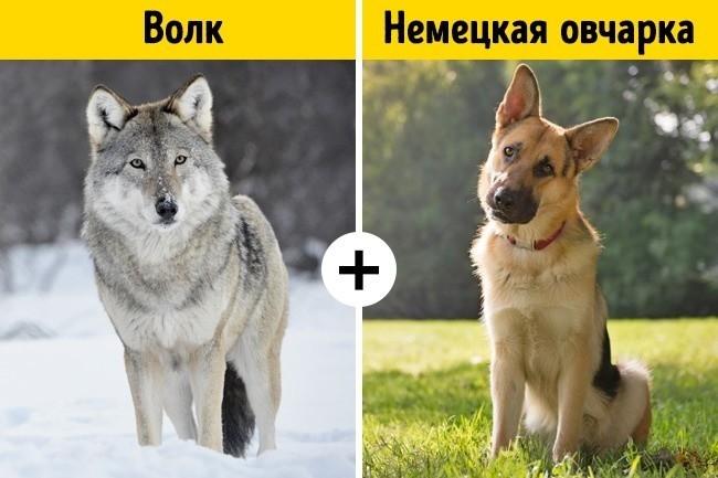 Волк и немецкая овчарка