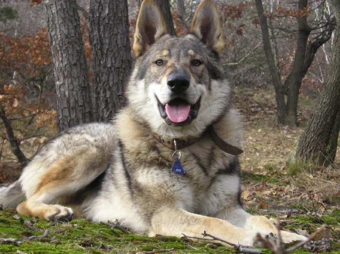 Чехословацкий волчак