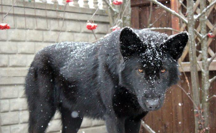 Чёрный волкособ
