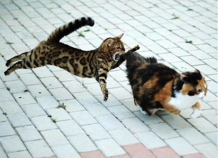 Кошка догоняет другую