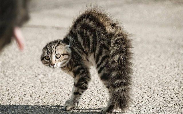 Кошка выгибает спину