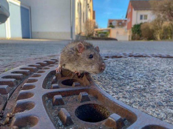 Застрявшая крыса