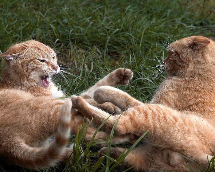 Кошки дерутся в траве