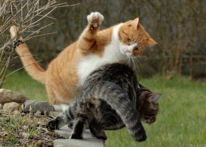 Кошка бьёт лапой другую кошку