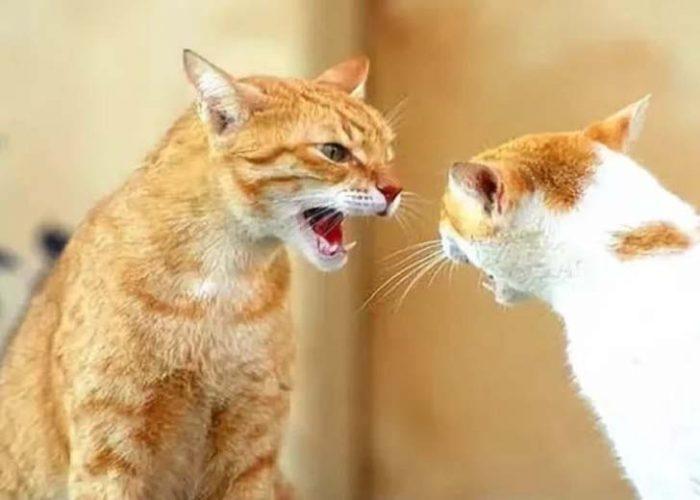 Кошки ругаются