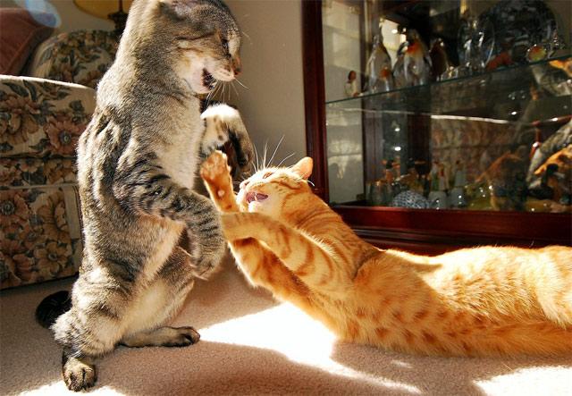 Кошки ругаются дома