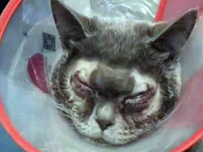 Кот после пластической операции