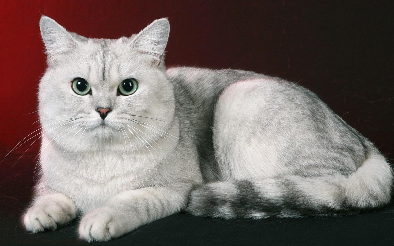 Марфлоксин для кошек: инструкция по применению, противопоказания